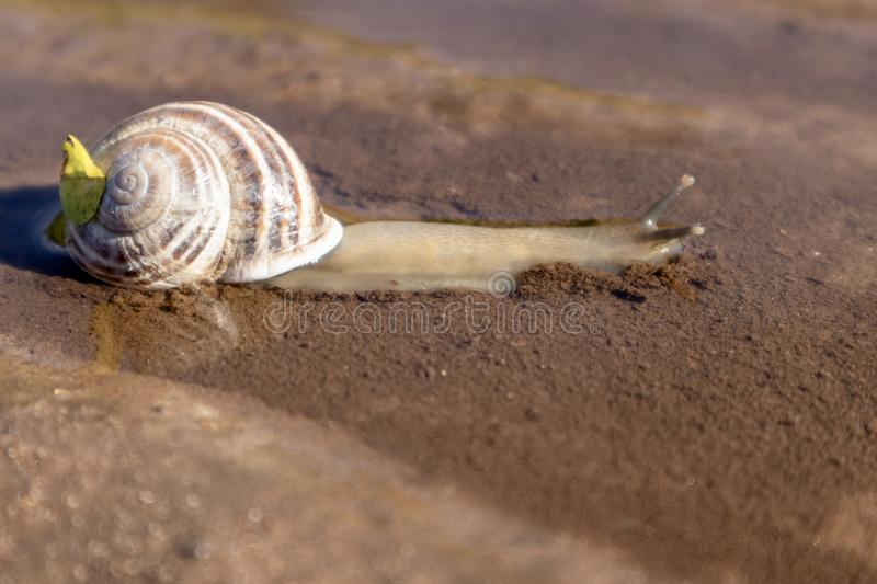 Snail drinking water from a puddle. Cute snail drinking water from a puddle in the dirt stock images