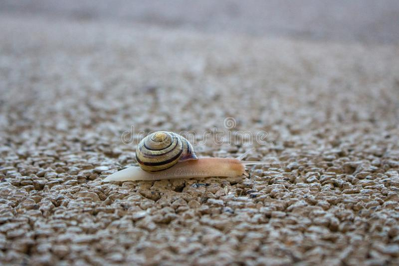 Cute snail with shell on trail macro. Nature close up. Small mollusk on sand. Wildlife background. Small snail with its house. Slug in park royalty free stock images