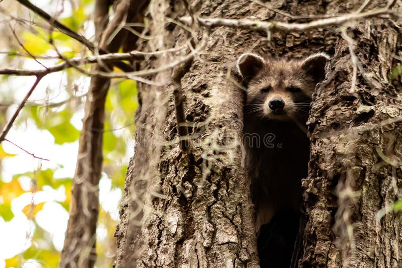 A cute snapshot of a young raccoon peaking from the hollow of a tree royalty free stock photos