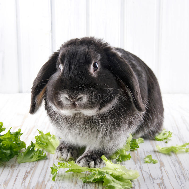 Cute soft black lop bunny rabbit stock images