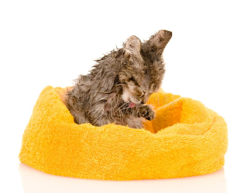 Cute soggy kitten after a bath. isolated on white. Background stock images
