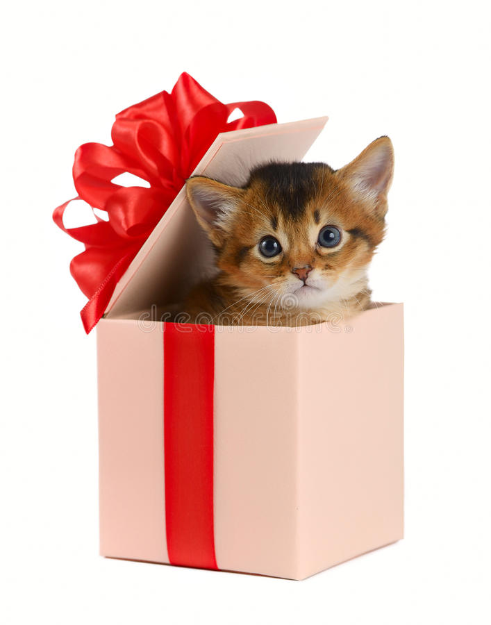 Cute somali kitten in a present box royalty free stock photos