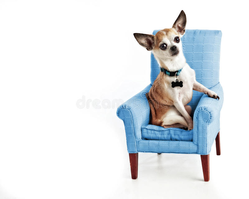 Cute Sophisticated Chihuahua sitting in small comfy chair isolated on white. Small dog posed in miniature upholstered blue chair. Room space for text. Isolated stock images