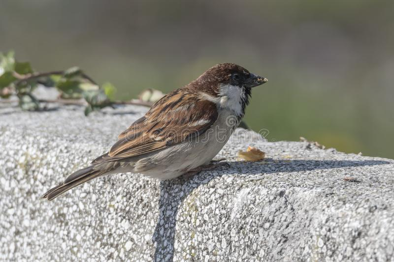 Cute sparrow in the garden royalty free stock photo