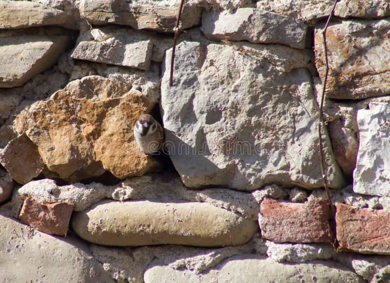 Cute sparrow looking in camera facing a crack between stones stock images