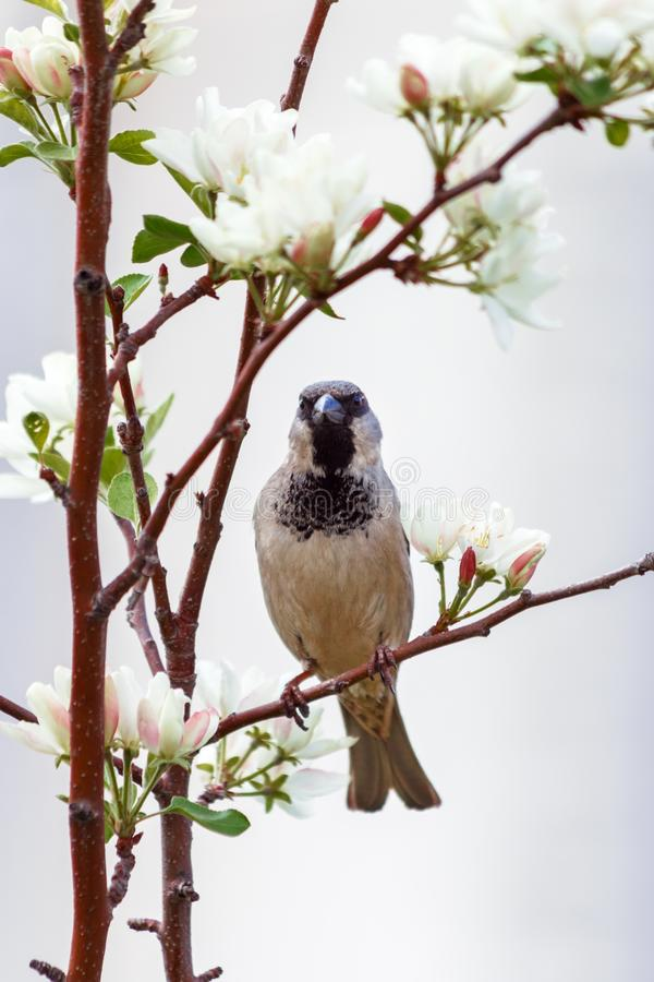 Cute Sparrow sitting on a flowering branch of an Apple tree in the spring. Apple blossom flowers full of bright light royalty free stock photos