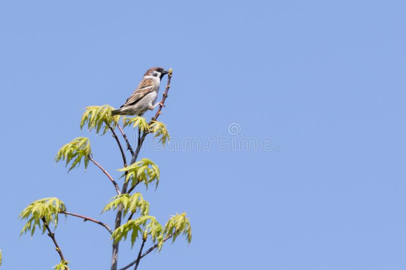Cute sparrow on tree royalty free stock image