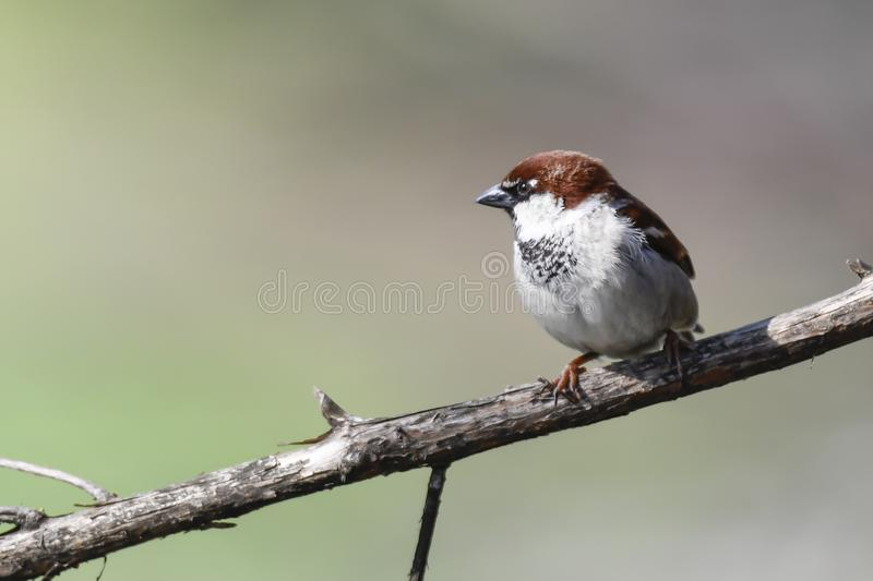 Cute sparrow on tree royalty free stock photography