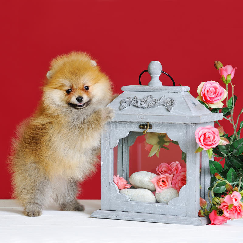 Cute spitz dog puppy. With lantern and decorative flowers on red background stock photo