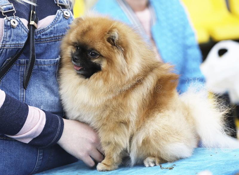 A cute spitz puppy at a dog show with a girl. A cropped shot, horizontal, outdoors, side view. Pets concept royalty free stock photography