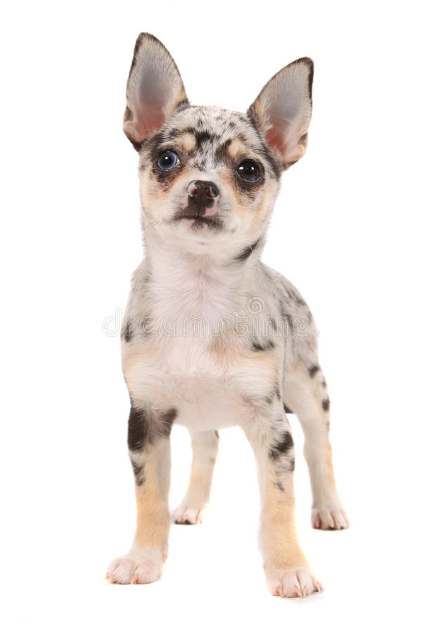 Download Cute spotted chihuahua stock photo. Image of canine, pets - 17148670