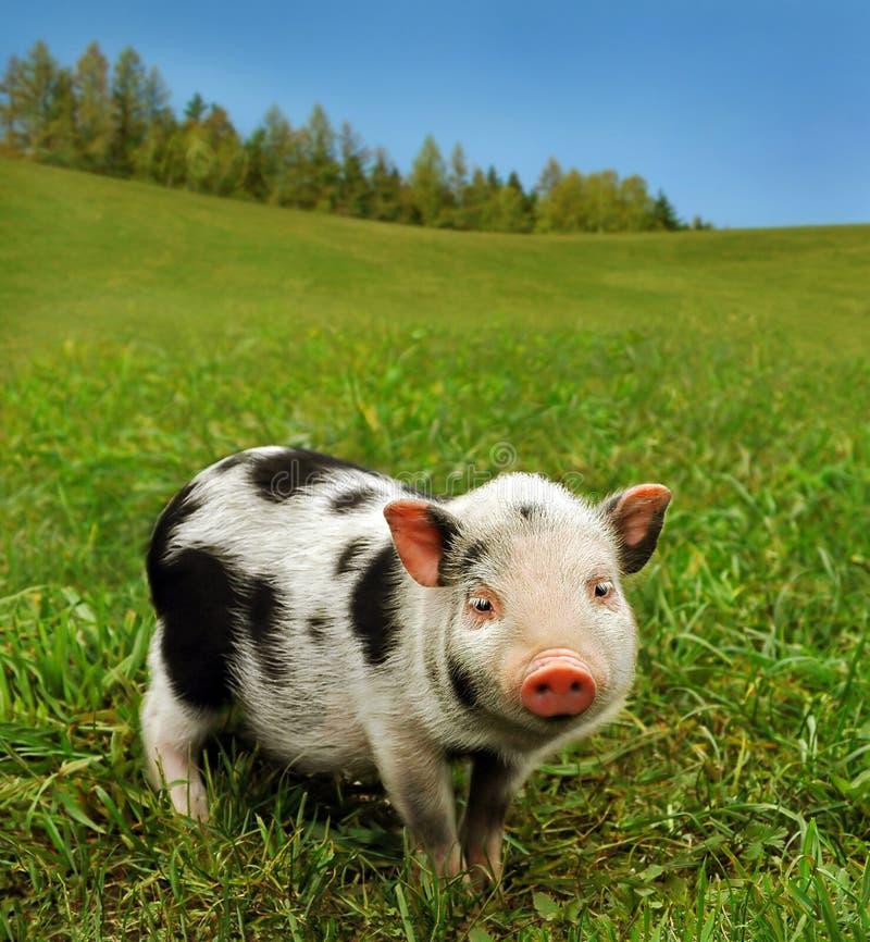 Cute spotty piglet stock photos
