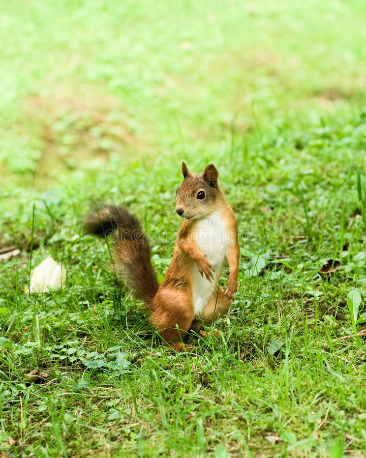 Download Cute squirrel stock photo. Image of park, funny, summer - 6412458