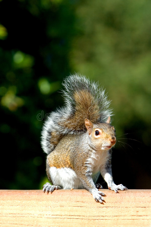 Cute squirrel on bench stock photography
