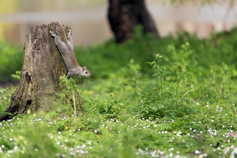 Download Cute squirrel stock image. Image of cute, london, brown - 32906931