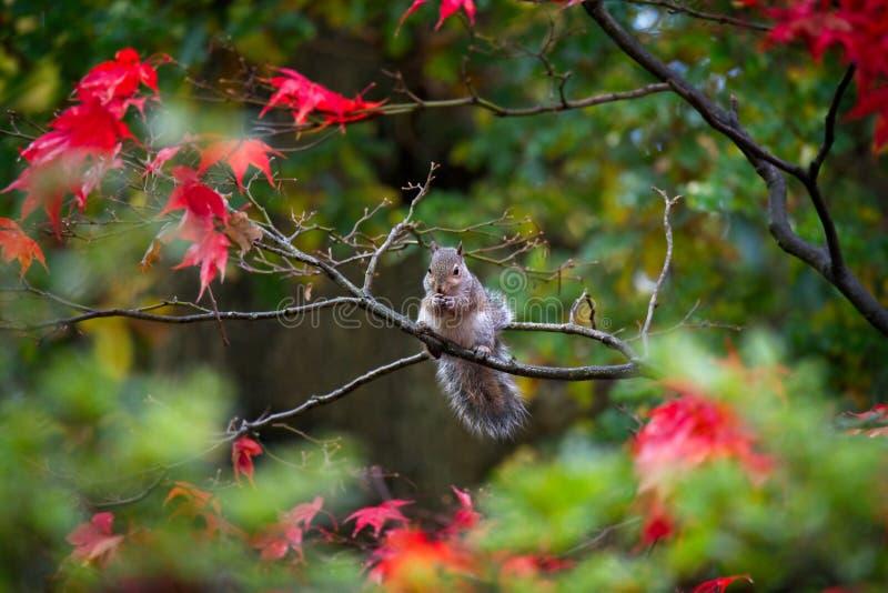 Squirrel in Autumn stock photos