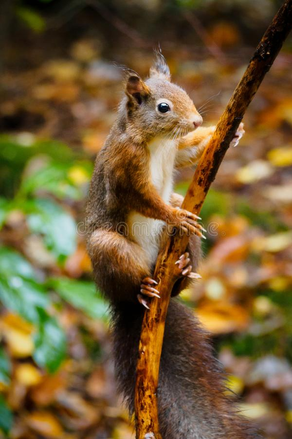A squirrel in the forest of Beekbergen, near Apeldoorn, The Netherlands. A cute squirrel with fluffy ears and tail, watching over his territory. The photo was royalty free stock photo