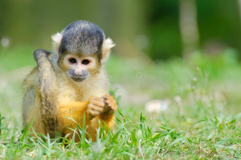 Cute squirrel monkey. (Saimiri) subfamily: saimiriinae stock image