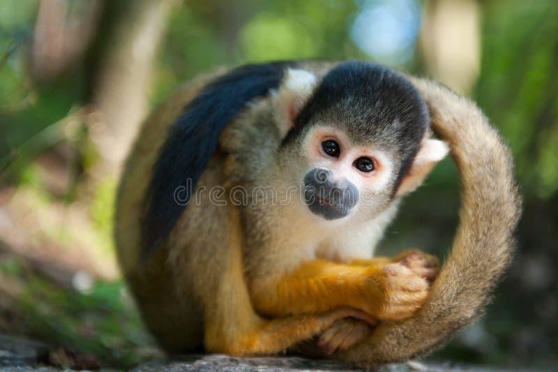 Cute squirrel monkey. (Saimiri) subfamily: saimiriinae royalty free stock image
