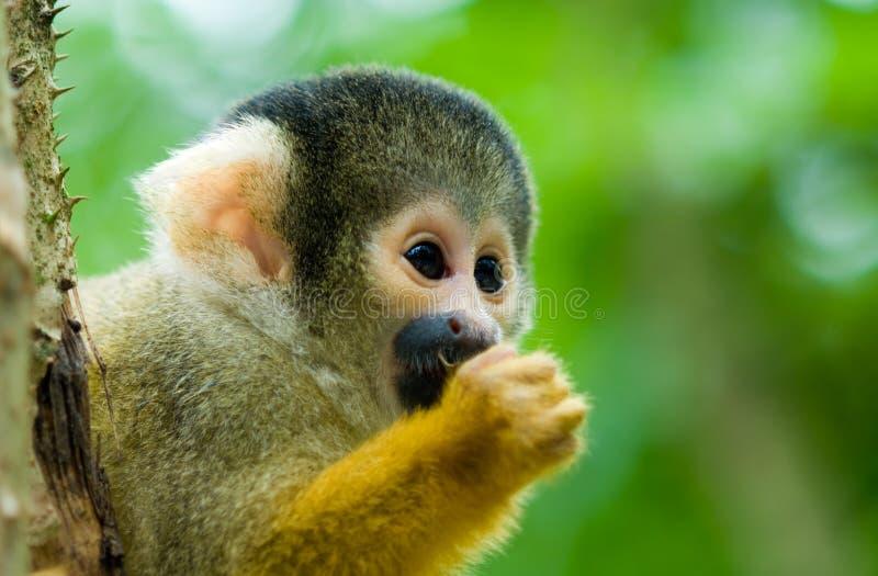 Cute squirrel monkey. Portrait of a cute squirrel monkey (Saimiri) subfamily: saimiriinae stock photos