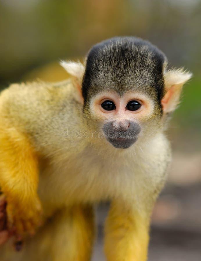 Cute squirrel monkey. (Saimiri) subfamily: saimiriinae royalty free stock images