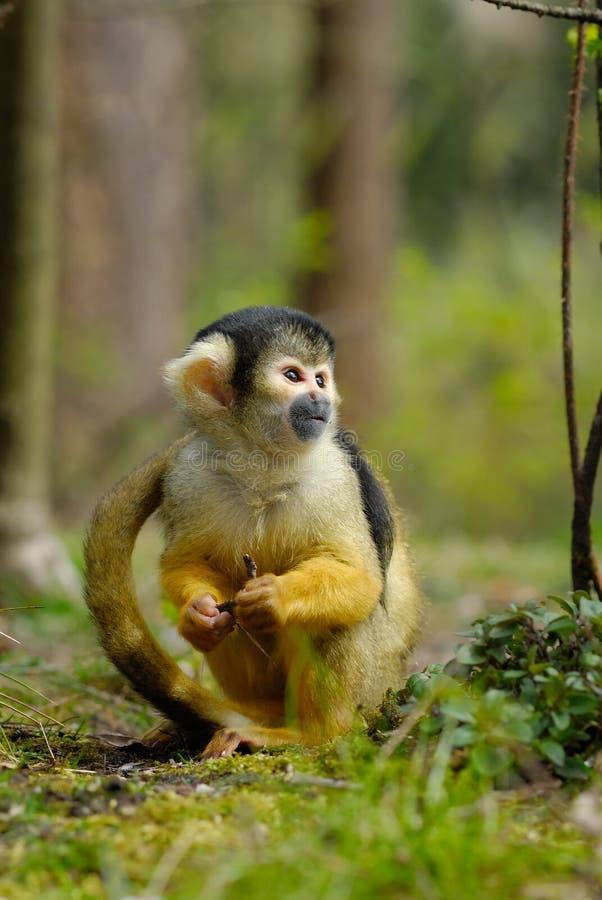 Cute squirrel monkey. (Saimiri) subfamily: saimiriinae royalty free stock photos