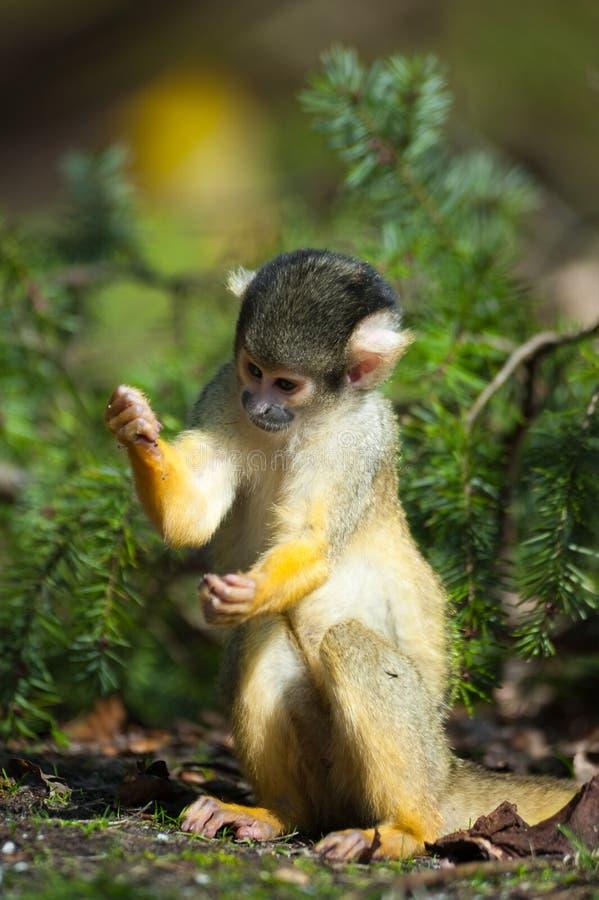 Cute squirrel monkey. (Saimiri) subfamily: saimiriinae stock images
