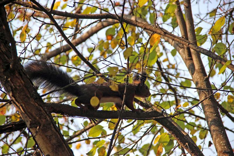 The squirrel walk on the tree branch royalty free stock image