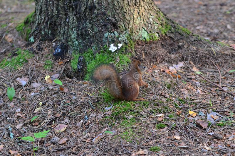 Cute squirrel sits under a tree royalty free stock photography