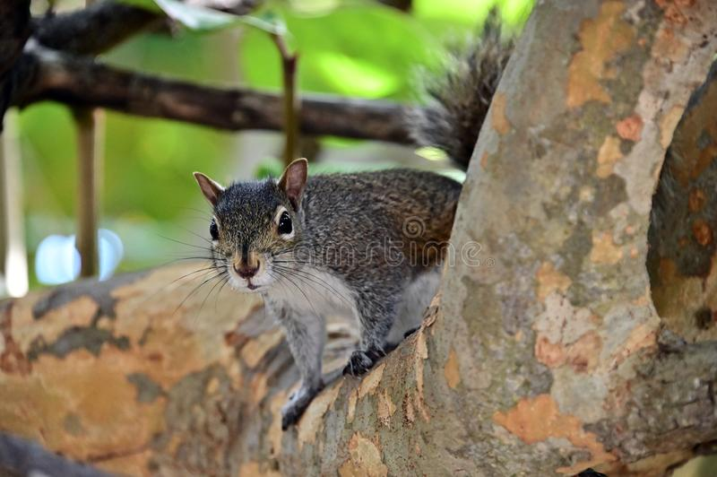 Cute squirrel spying from a branch. stock photos