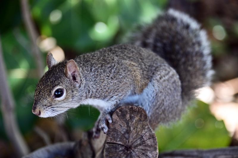 Curious squirrel. royalty free stock photography
