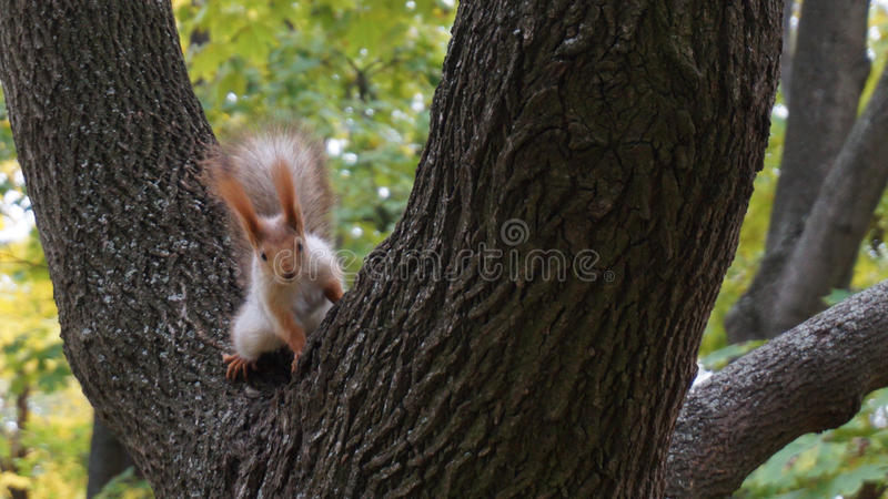Cute squirrel. Trusty squirrel in the wood stock photos