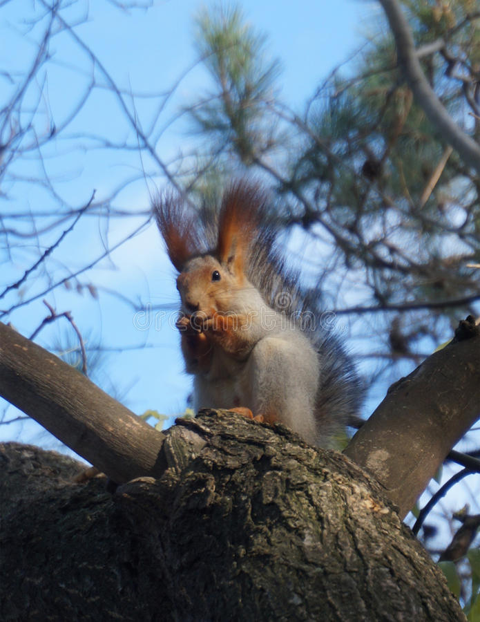 Cute squirrel. Trusty squirrel in the wood royalty free stock images