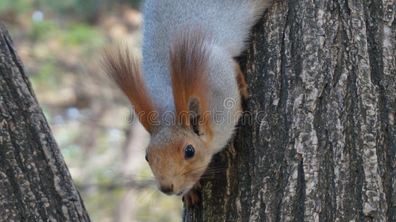 Cute squirrel. Trusty squirrel in the wood royalty free stock photos