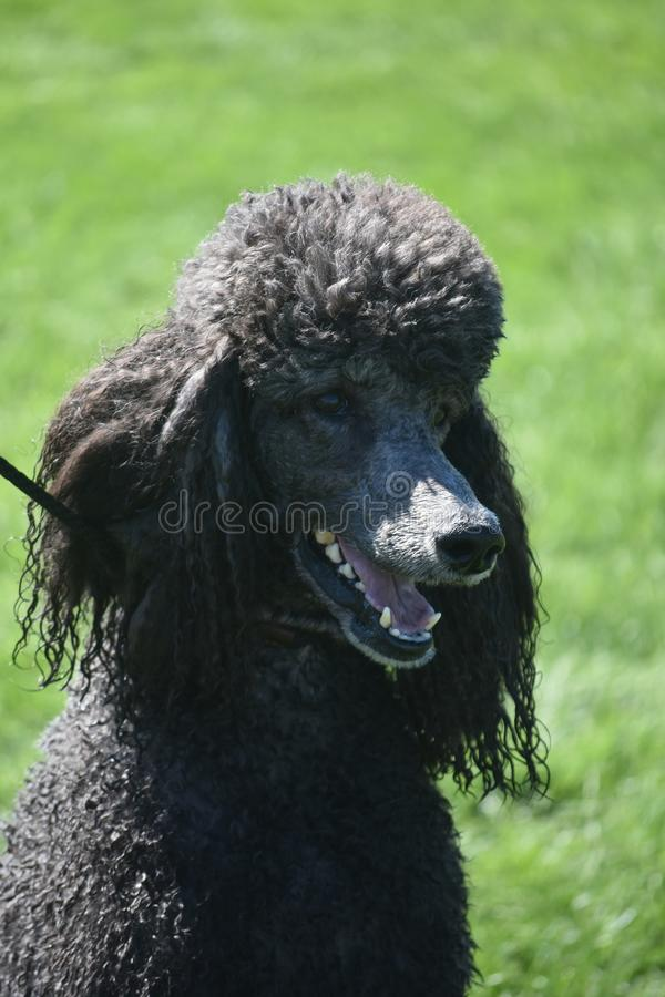 Cute Standard Black Poodle in a Field royalty free stock images