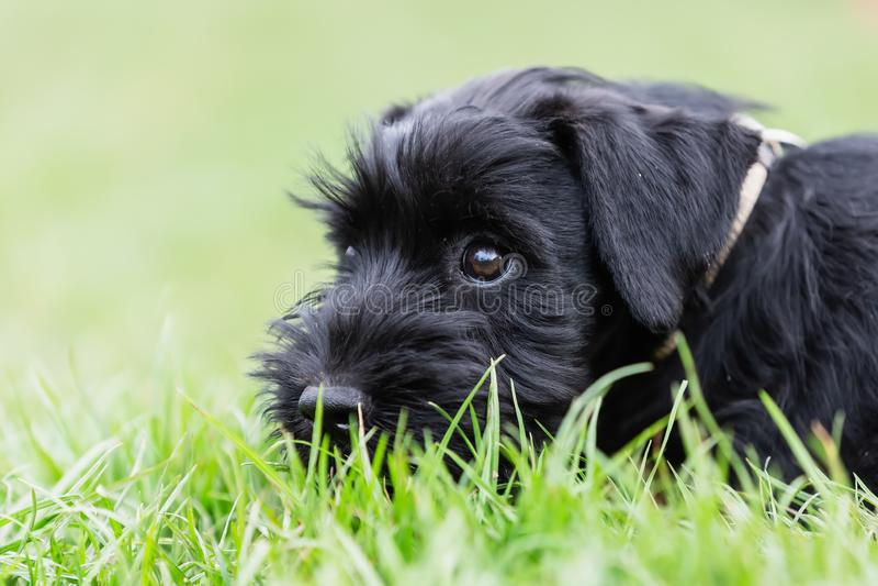 Cute standard schnauzer puppy lies in the grass. Closeup portrait of a cute standard schnauzer puppy who lies in the grass royalty free stock photos
