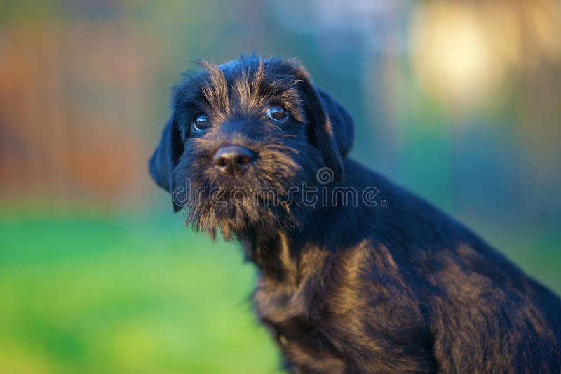 Cute standard schnauzer puppy looking up. At nice evening light royalty free stock photography