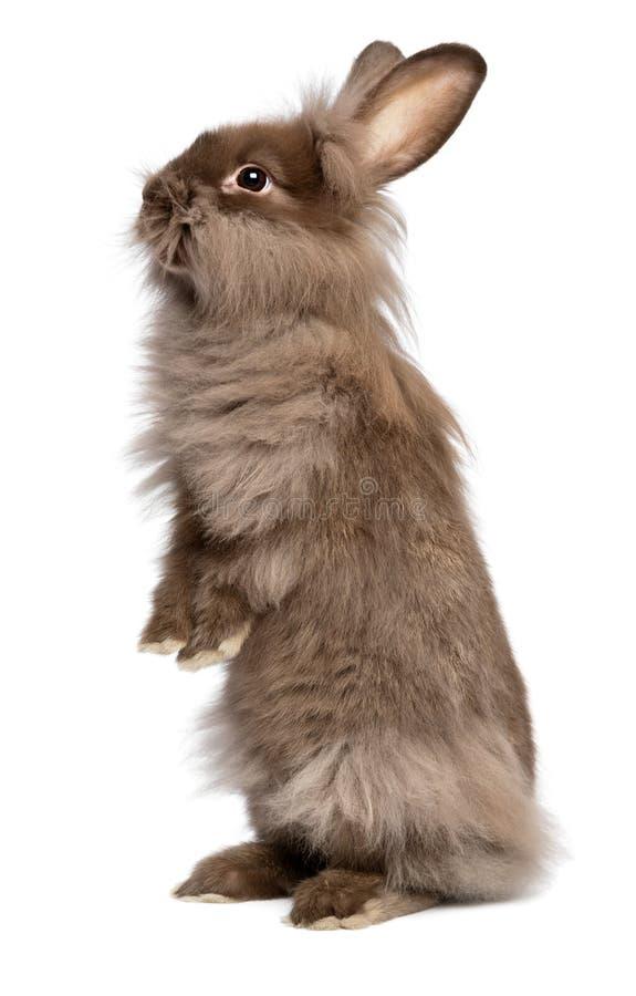 A cute standing chocolate lionhead bunny rabbit stock photography