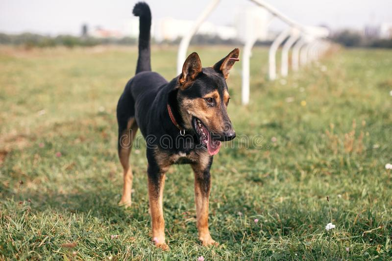 Cute stray black and brown dog walking in green summer park. Adoption concept. Save animals. Adorable dog with sweet emotions royalty free stock images