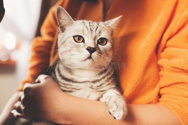 Cute striped cat sitting in hands stock images