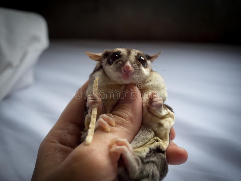 Cute Sugar Glider in hand. royalty free stock image