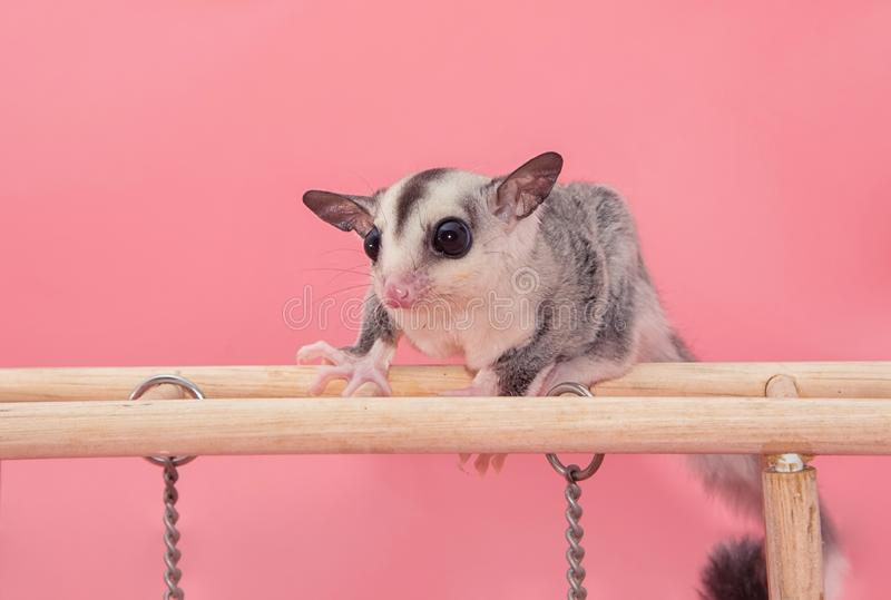 Sugar glider leucistic . Petaurus breviceps, on pink backgr royalty free stock images