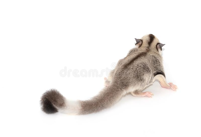 Cute sugar glider. Petaurus breviceps, royalty free stock photography