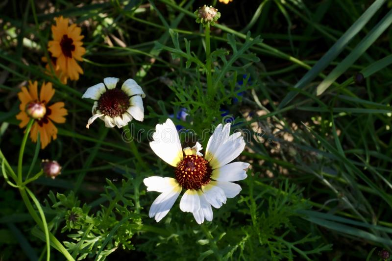 Cute summerflowers. Shaded by sunflowers, these small flowers grow stiffly stock image