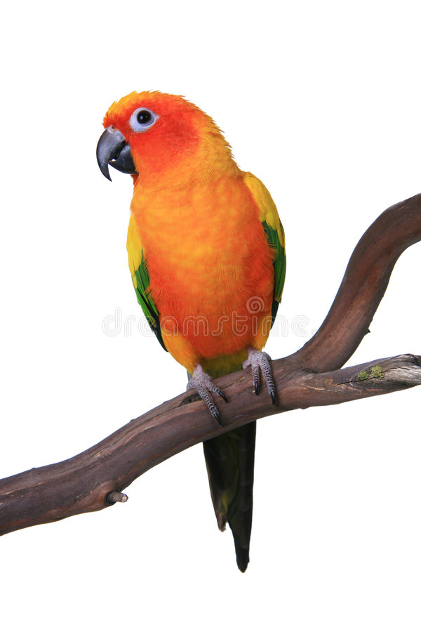 Cute Sun Conure Parrot Sitting on a Wooden Perch royalty free stock images