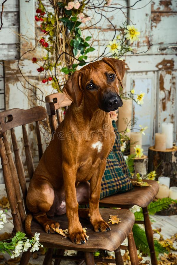Rhodesian Ridgeback sitting on a chair in autumn decorations royalty free stock images