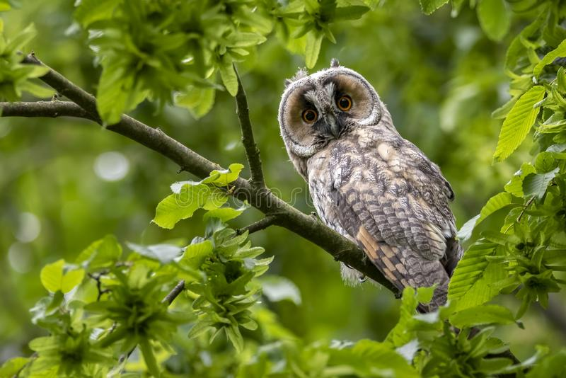 Cute surprised western screech owl perched on a tree branch with green leaves in the forest stock photography