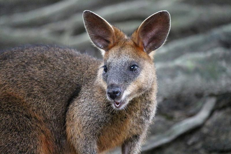 Swamp wallaby royalty free stock image