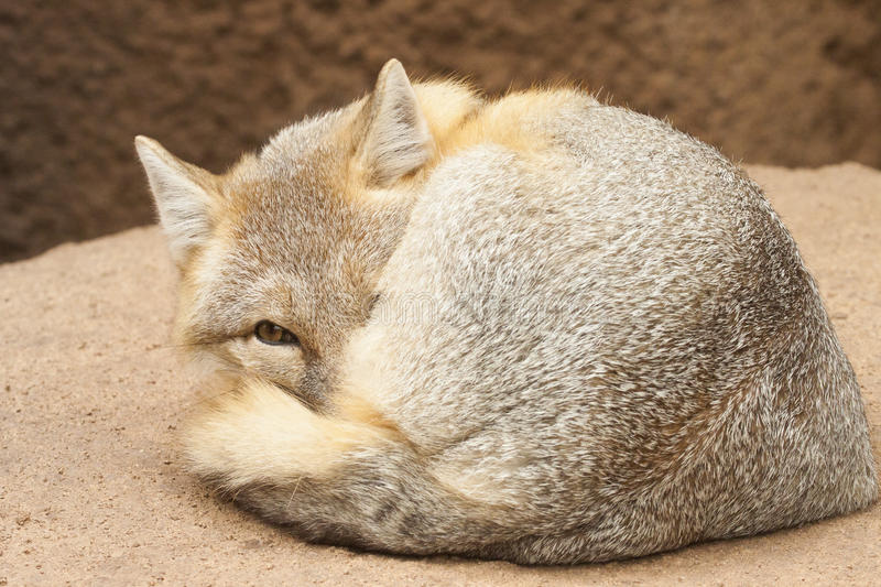 Cute swift fox royalty free stock photo