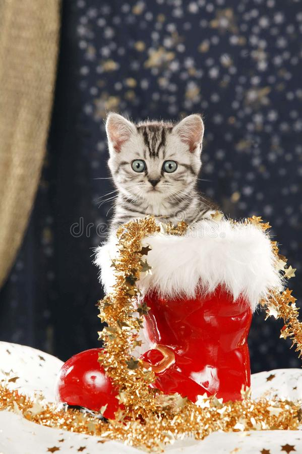 Free Cute Tabby British Shorthair Cat Sitting In Christmas Boot Stock Image - 131840501